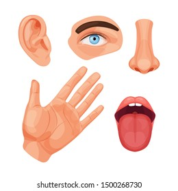 Human anatomy organs, biology, body structure. Five human senses. Smell of nose, eye sight, ears, touch of skin, body, taste tongue. Perception of environment, sensations. Vector cartoon illustration