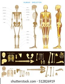 Human anatomy. Realistic detailed skeleton of a full-length, front and profile view. Bones are drawn separately.