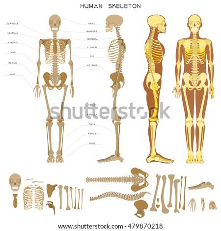 Human Anatomy Realistic Detailed Skeleton Fulllength Stock Vector ...