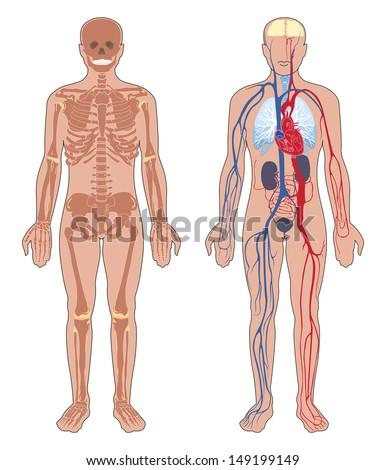 Human Anatomy Set Vector Illustration Isolated Stock Vector (Royalty ...