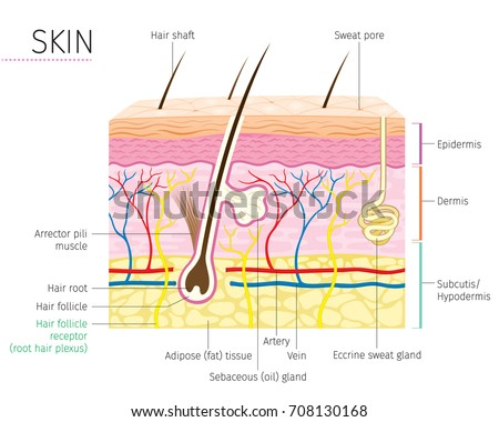 human anatomy skin hair diagram complexion stock vector (royaltyhuman anatomy, skin and hair diagram, complexion, physiology, system, medical,