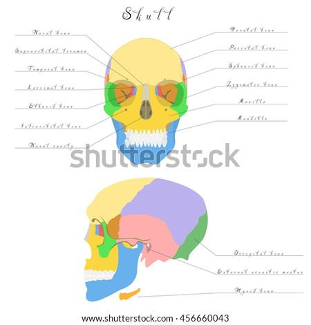 Human Anatomy Skull Bones Skull Highlighted Stock Vector (Royalty ...