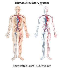 Human arterial and venous circulatory system. Vector illustration.