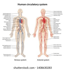 Human arterial and venous circulatory system with description of the corresponding parts. Anatomical vector illustration in flat style isolated over white background.