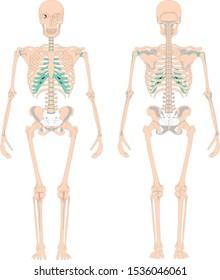 Human back and front skeleton. Bones anatomy skeleton vector illustration, skeletal biology system isolated on white background - Vector
