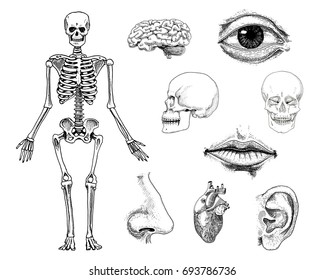Human biology, anatomy illustration. engraved hand drawn in old sketch and vintage style. skull or skeleton silhouette. Bones of the body. lips and ear with nose. brain and heart.