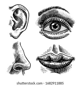 Human biology, organs anatomy illustration. Engraved hand drawn in old sketch and vintage style. Face detailed kiss or lips and ear, eye or view, look with nose.