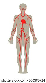 Human blood artery system vector