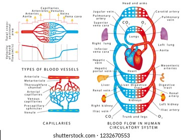 Human bloodstream. Blood vessels scheme. Blood Flow In Human Circulatory System. Blood vessels types and functions on a white background.