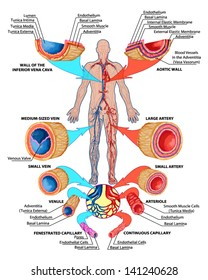 Human bloodstream - didactic board of anatomy of blood system of human circulation sanguine, cardiovascular, vascular and venous system, construction of the veins and arteries