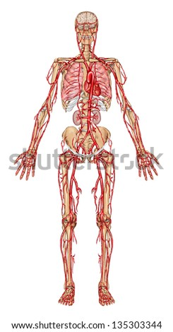 Human Bloodstream Didactic Board Anatomy Blood Stock Vector (Royalty ...