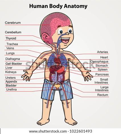 Human Body Anatomy Boy Organs System Stock Vector Royalty Free