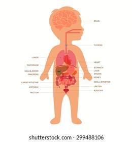human body anatomy,  child vector medical organs system,