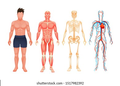 Human body anatomy man. Visual scheme circulatory system, blood vessel system with arteries and veins, skeleton, muscle system cartoon vector. Body structures in full growth.