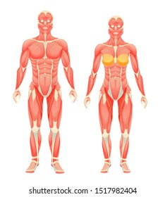 Human body anatomy man and woman. Female and male human muscular people, type of muscle system with muscles and ligaments cartoon vector illustration
