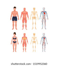 Human body anatomy man and woman. Body structures in full growth. Visual scheme circulatory system, blood vessel system with arteries and veins, skeleton, muscle system cartoon vector