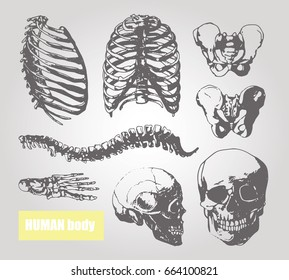 Human body anatomy. Medical illustration. Human bones