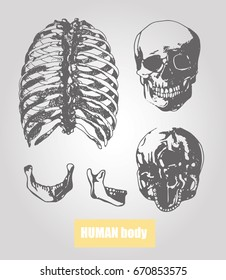 Human body anatomy. Medical illustration. Human bones. Human scull