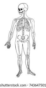 Human body anatomy. Medical illustration. Human bones