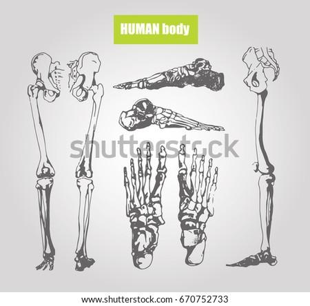 Human Body Anatomy Medical Illustration Human Stock Vector Royalty