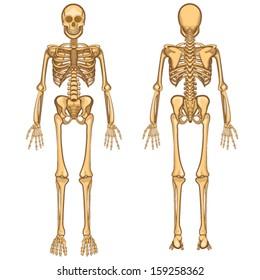 9c4710b16 Human Body Anatomy Skeleton and Internal Organ Vector Illustration