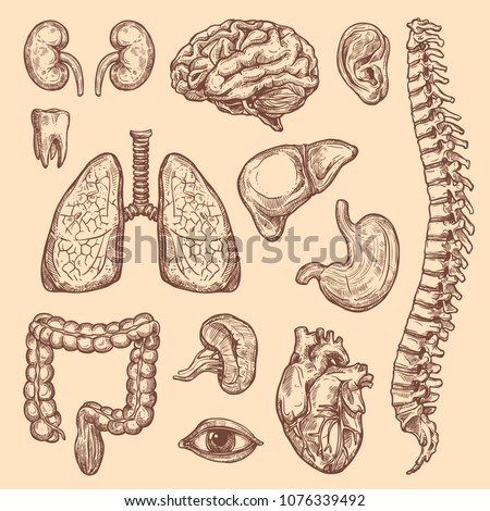 Human Body Anatomy Sketch Icons Internal Stock Vector Royalty Free