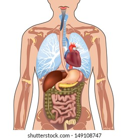 Internal Organ Images, Stock Photos & Vectors | Shutterstock