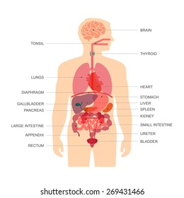 Human Internal Organ Images, Stock Photos & Vectors | Shutterstock
