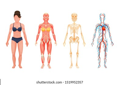 Human body anatomy woman. Visual scheme circulatory system, blood vessel system with arteries and veins, skeleton, muscle system cartoon vector. Body structures in full growth.