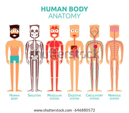 Human Body Cartoon Stylized Anatomy Vector Stock Vector Royalty