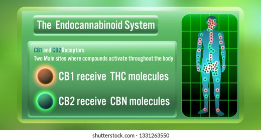 The Human body endocannabinoid system,cb1, and cb2 receives THC, CBN Molecules.vector illustration