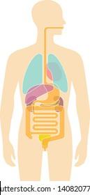 Human body internal organs illustration - Lungs, Heart, Liver, stomach, etc.