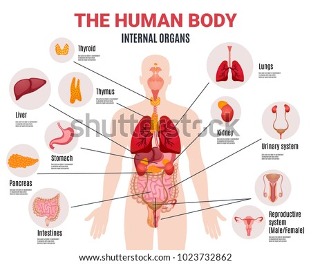 Human Body Internal Organs Schema Flat Stock Vector (Royalty Free ...