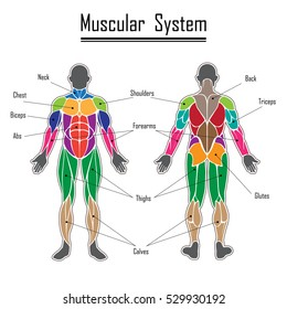 Human body muscles different colors and text