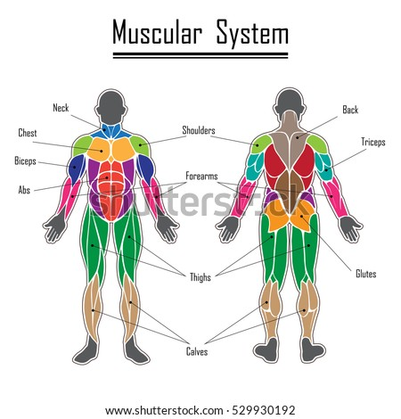 Human Body Muscles Different Colors Text Stock Vector Royalty Free