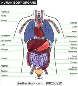 human body organ and anatomy