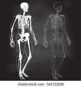 Human body parts skeletal man anatomy vector illustration chalk drawing on the blackboard
