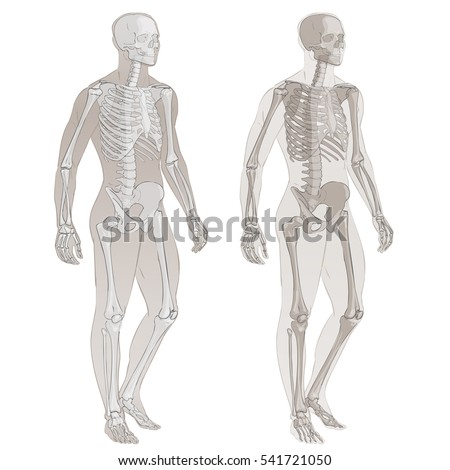 Human Body Parts Vector Skeletal System Stock Vector (Royalty Free ...