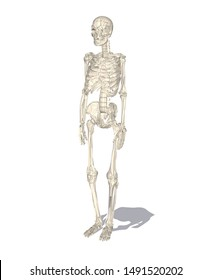 human body skeleton, anatomy bones, and skull in realistic style with perspective view and white background. -vector