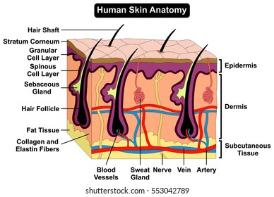 Human Body Skin Anatomy diagram infographic chart figure with all parts hair sweat gland artery vein supply blood vessel tissue dermis epidermis layers cross section biology science education vector