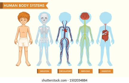 Human body systems vector illustration showing skeleton, circulatory, nervous and digestive body system of a human body. Medical Education Chart of Biology for Human Body Organ System Diagram. Vector