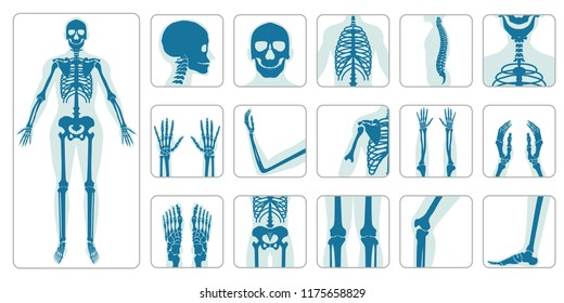 Human bones orthopedic and skeleton icon set on white background, bone x-ray image of human joints, anatomy skeleton flat design vector illustration.