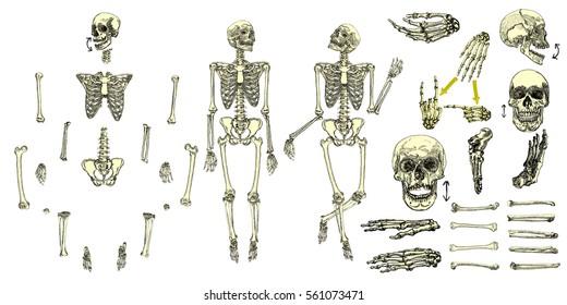 Arm Bone Images, Stock Photos & Vectors | Shutterstock