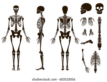 Human bones skeleton structure elements set. Skull collection. Vector illustration isolated on white background eps10