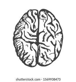human brain adult object isolated