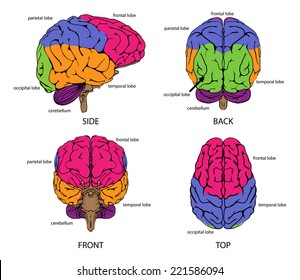 Human brain from all sides with sections in different colors and text labels