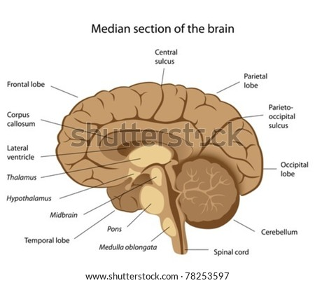human brain anatomy stock vector (royalty free) 78253597 shutterstockhuman brain anatomy