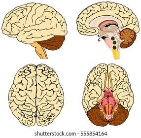 Human Brain Anatomy Collection set anterior inferior lateral and sagittal views spinal cord start lobes temporal frontal limbic parietal occipital anatomical science education cerebellum vector