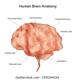 Human brain anatomy diagram. Sections of head brain isolated on white background. vector illustration