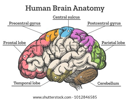 human brain anatomy diagram sections head stock vector (royalty freehuman brain anatomy diagram sections of head brain vector illustration